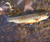 Stream Side Adventures Seminar - Fly Fishing Scavenger Hunt: Native Species From Their Native Range