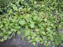 Photo of watercress in a Missouri stream